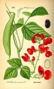 Rosenbönor